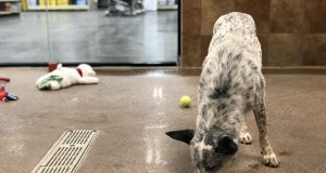 pet: a blue heeler mix in a room