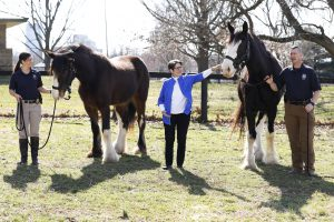 Pet: three people with clydesdales