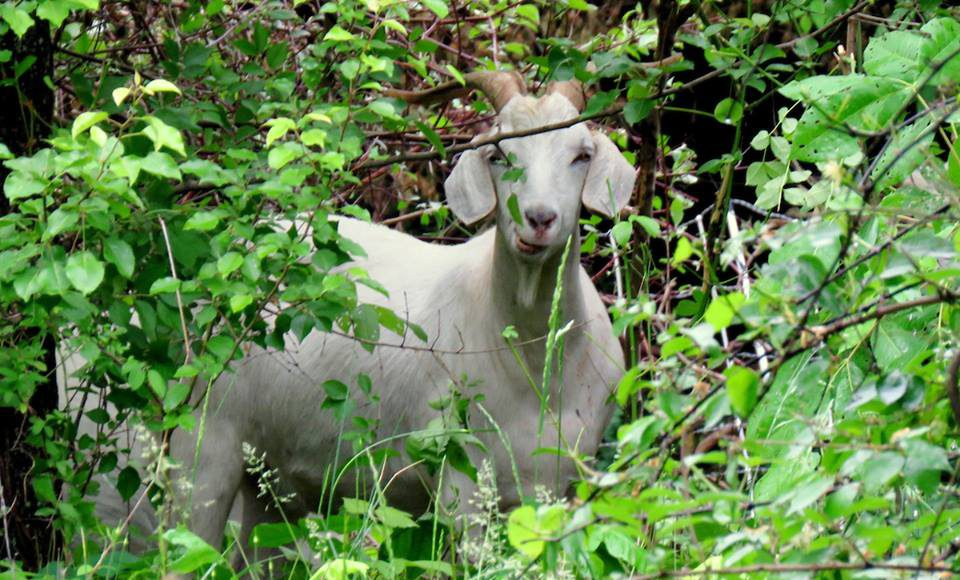 Neighborhood Goats: a goat in brush