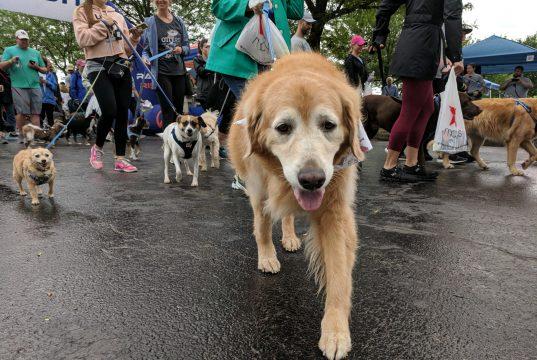 Pet: older dog walking towards the camera