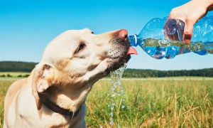 Pet: dog drinking out of a water bottle