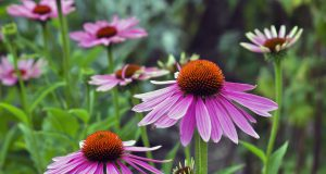 Garden: Echinacea is an ancient medicinal plant used by the North American Indians for colds, coughs, sore throats and tonsillitis. Even today, Echinacea angustifolia is used internally against respiratory and urinary tract infections and externally for the treatment of poorly healing wounds.