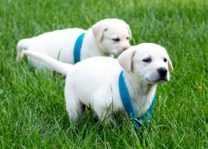 Bluegrass Care Navigators: two puppies running in the grass