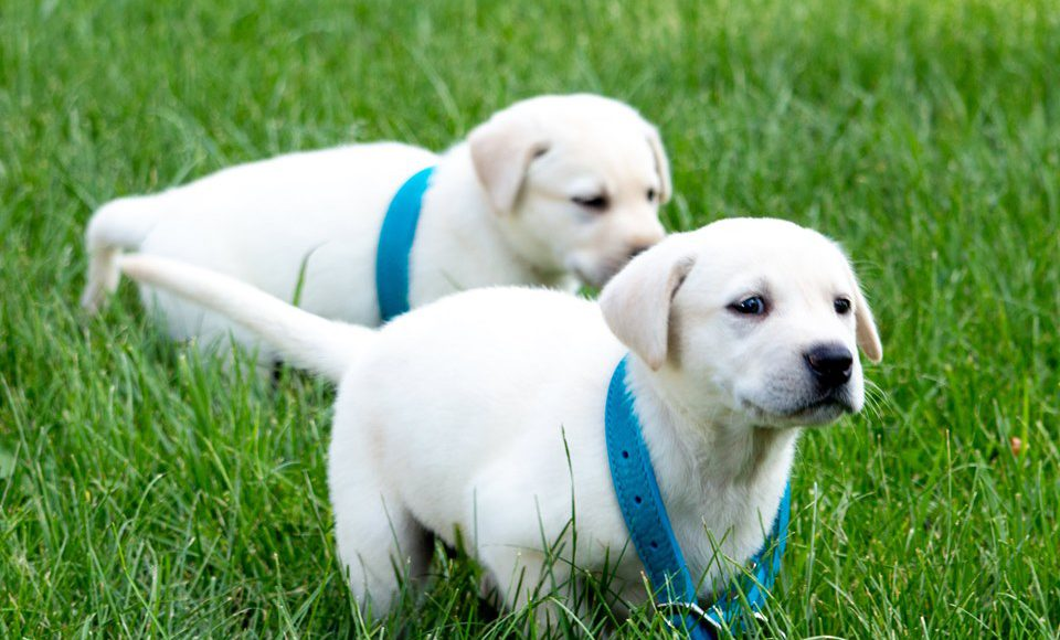 Pet Bluegrass Care Navigators: two puppies running in the grass