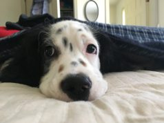 Pet: a dog sticking his head out of the sheets